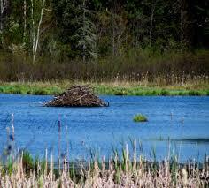 A beaver lodge peeks out of a pond.