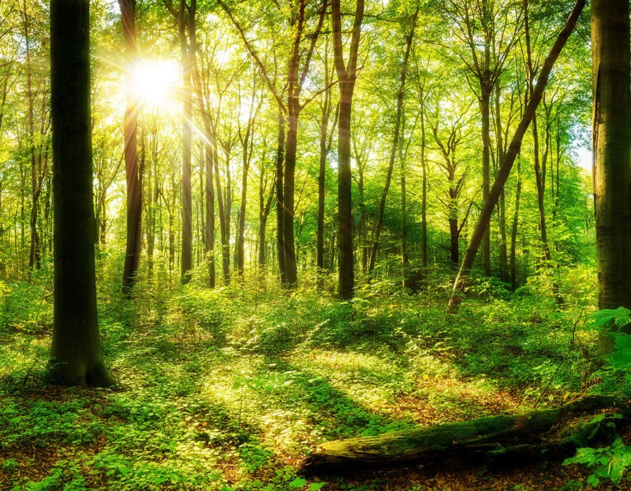 The sun shines through the trees in a dense forest.